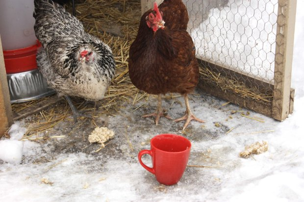 Jan 30-  Chickens with Red Cup 3