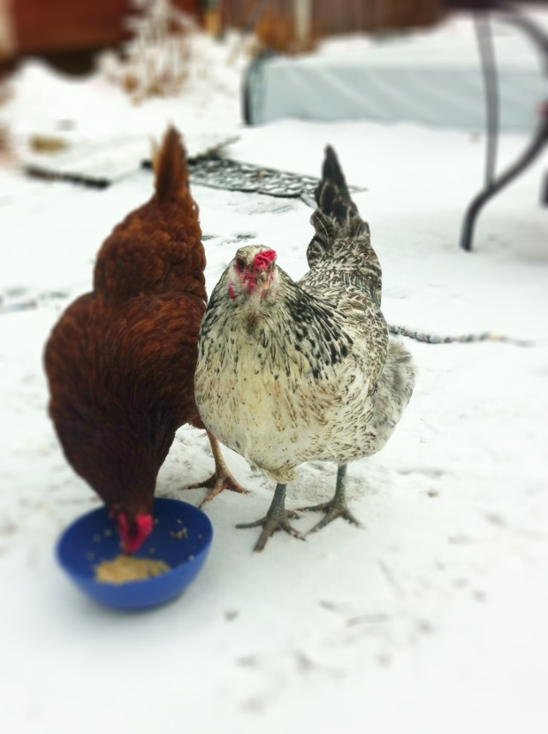 Chickens in the Snow, a still-life