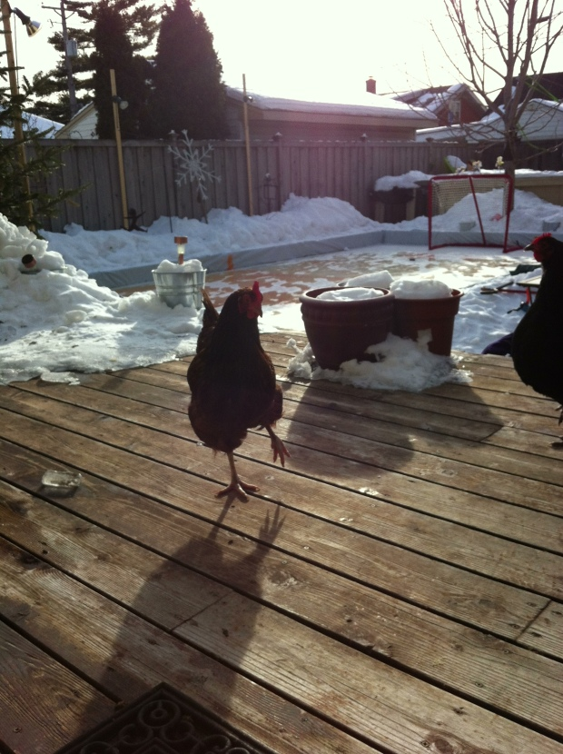 February 20:  Chicken in the Late Winter Sun