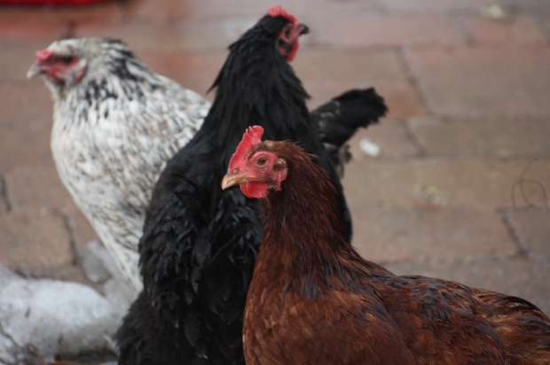 March 9:  Wet Chickens. They do not like the rain...
