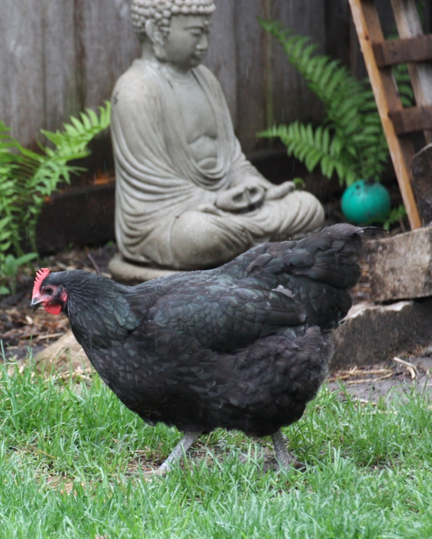 May 22:  Buddhist Chicken